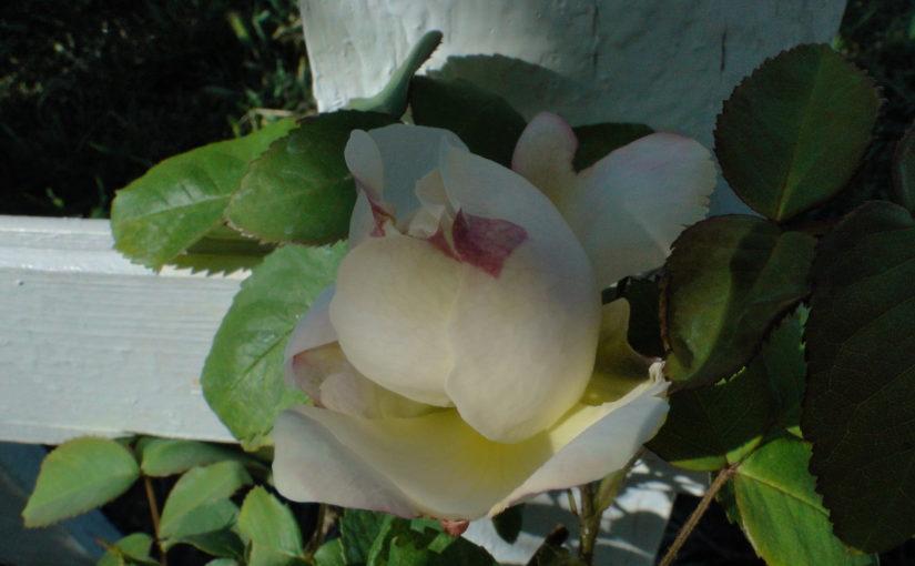 Всемирный день розы